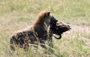 Hyena photograph