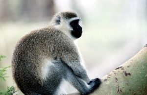 Vervet monkey photograph.