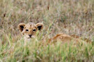 Lion cub photograph.