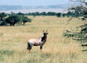 Topi Antelope photograph.
