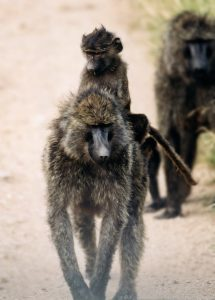 Mother baboon with baby baboon photograph.