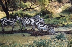 Zebras at the watering hole photograph.